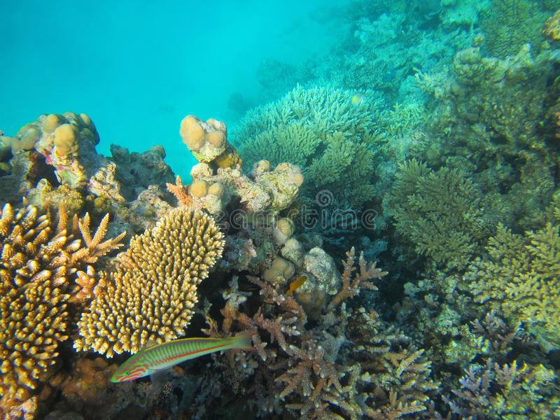Colorful fish and coral reef, Egypt royalty free stock photo