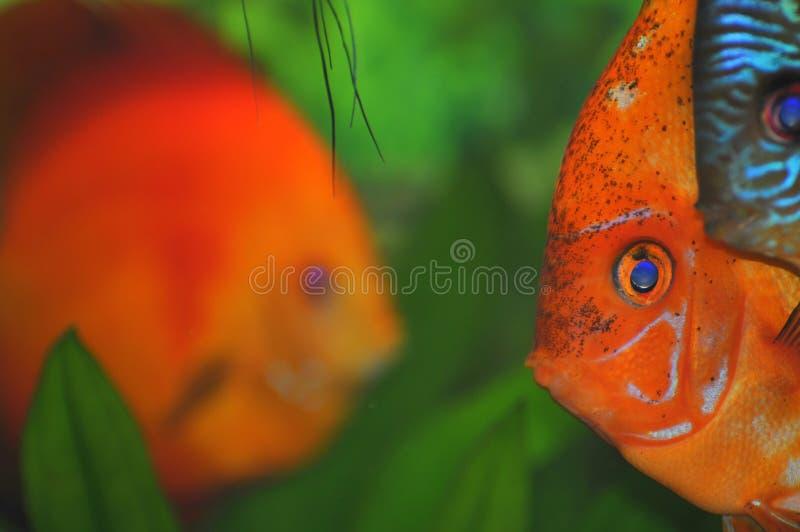 Download Colorful Fish Faces (tropical Aquarium Fish) Stock Photo - Image of tank, plants: 15265388