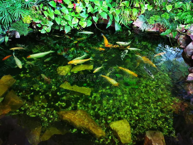 Colorful fish in the lake lighted. Koi fish in the lake and illuminated habitat royalty free stock images