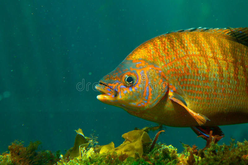 Colorful fish underwater royalty free stock image