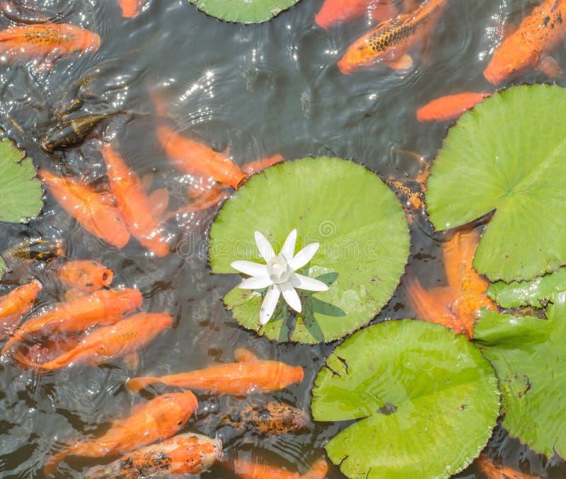 Colorful koi fish with white lotus in Isha foundation stock photos