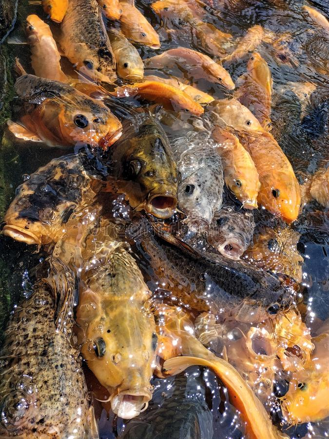 Colorful fishes at the pond in feeding frenzy stock photos