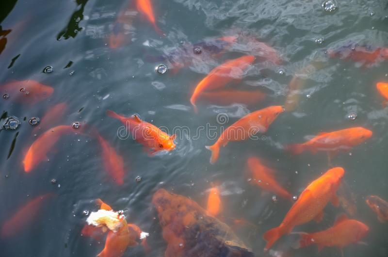 Colorful fishes swiming in the pond. Colorful fish background stock photography