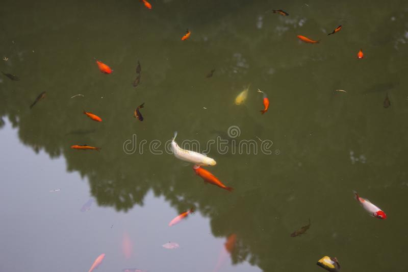 Colorful fishes in the water. Photo of different colorful fishes in a reservoir. Image is taken in National Botanical Park, Baku, Azerbaijan stock images