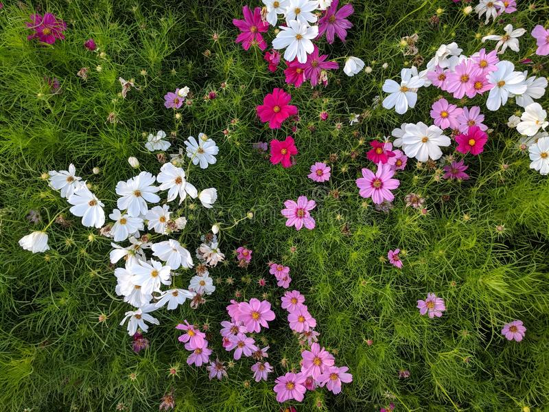 Colorful Flora. Vibrant, colorful daisies. A bunch of cute flowers royalty free stock image