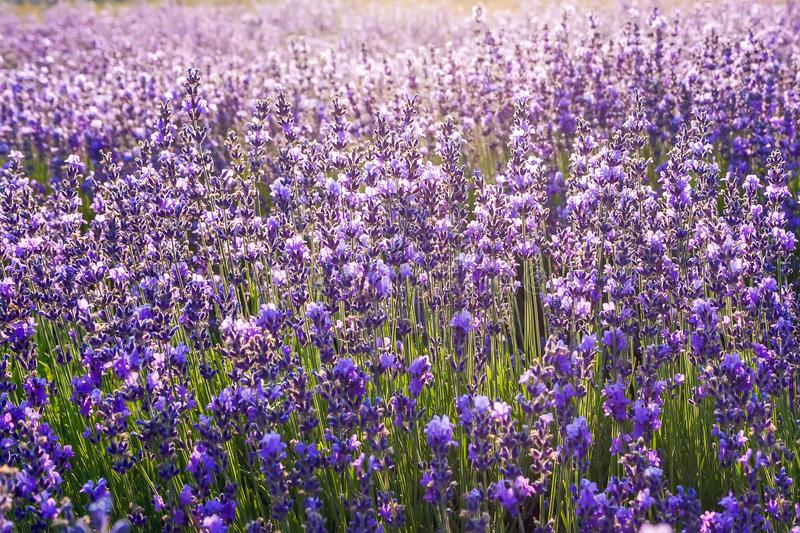 Colorful floral background, lavender flowers in backlight royalty free stock photography