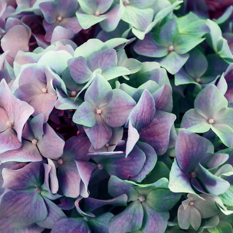 Colorful floral hydrangea flower background close up stock images