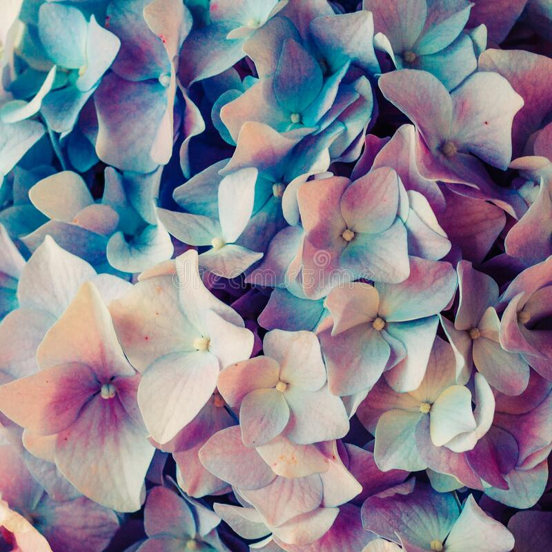 Colorful floral hydrangea flower background close up royalty free stock image