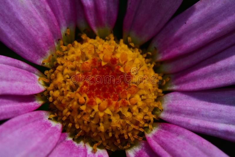 Colorful flower close up in my garden royalty free stock image