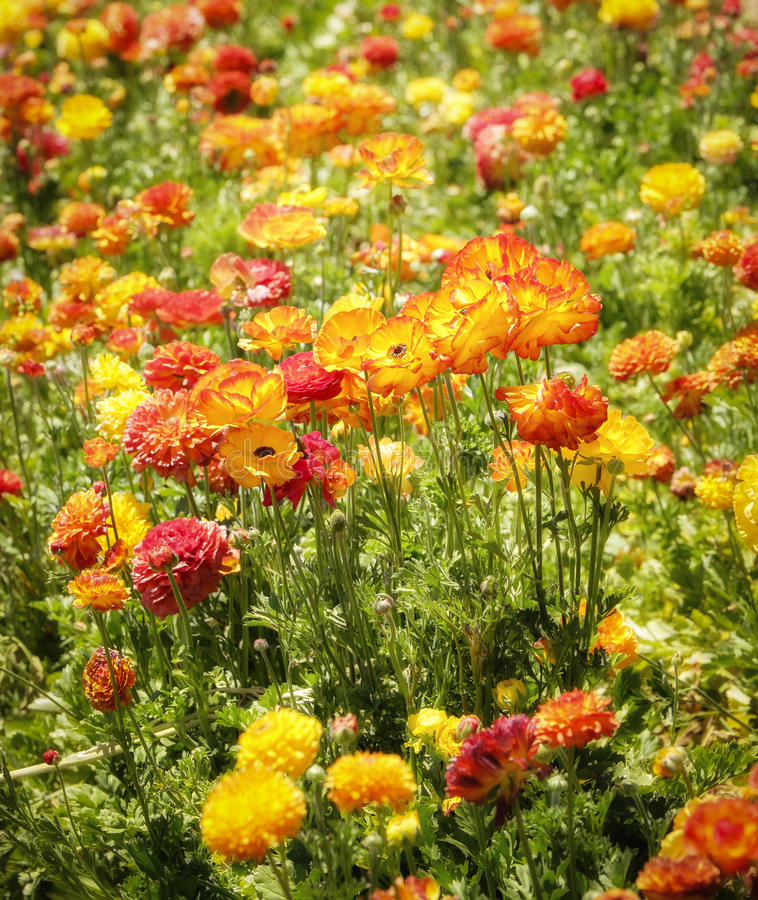 Colorful Flower Fields, Southern California stock photos