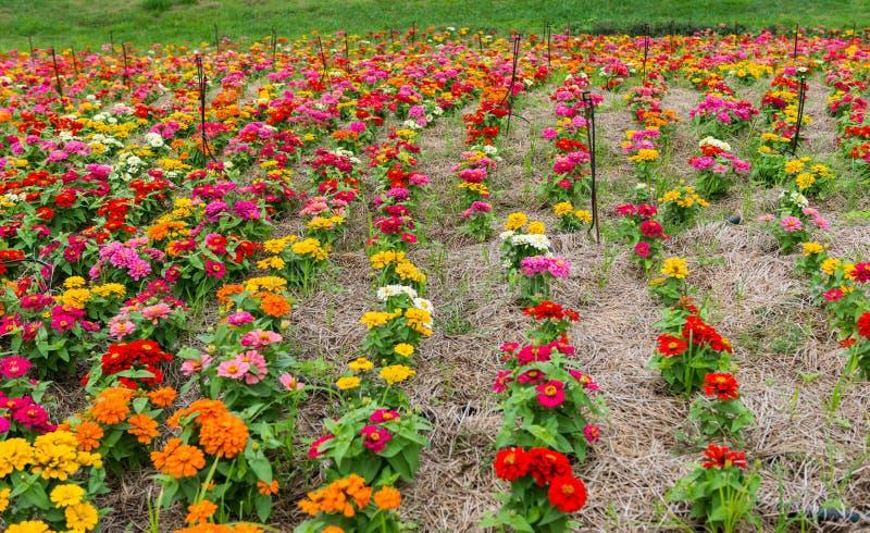 Colorful Flower In Garden Stock Photos
