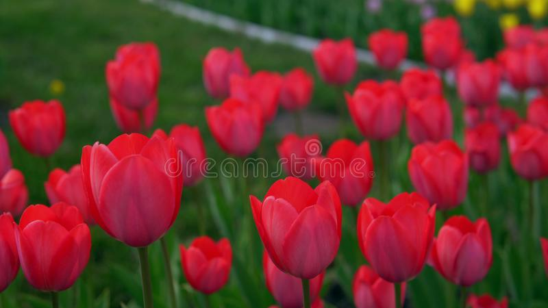 Colorful flower garden. Flowerbeds of red, yellow and orange tulips. Close up of red star tulips royalty free stock photo