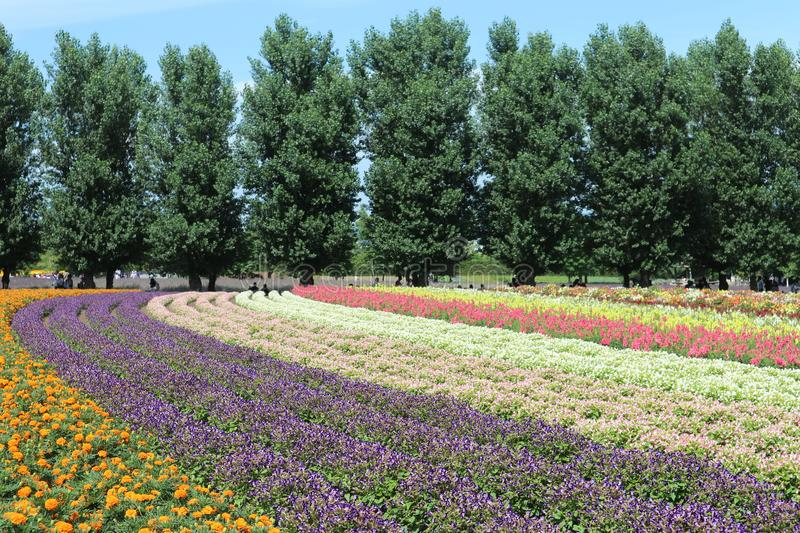 Colorful flower garden, Tomita Farm , 25-07-17 Sapporo royalty free stock photography