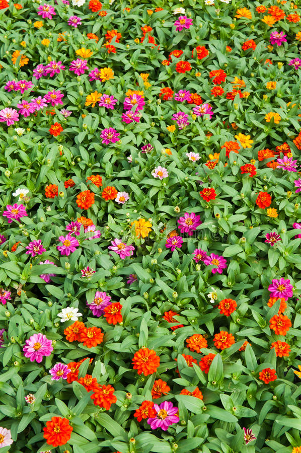 Colorful Flower Growing Royalty Free Stock Images