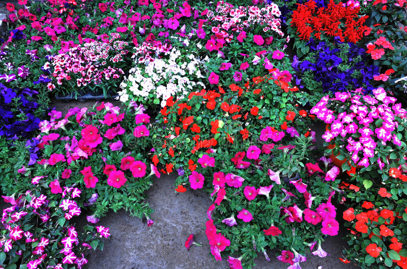 Colorful flower potting royalty free stock images