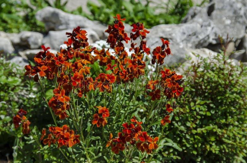 Colorful flowering Wallflower plants in springtime royalty free stock image
