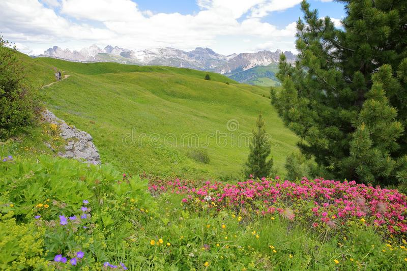 Colorful flowers along a hiking path near Sella pass above Selva, with Cir mountains in the background, Val Gardena. Dolomites, Italy stock image