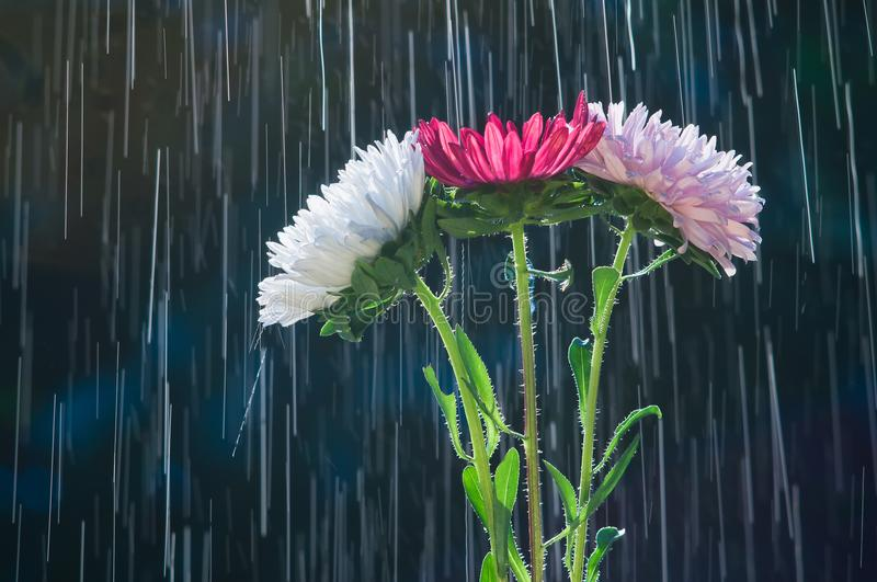 Colorful flowers asters on the background of tracks raindrops stock photo