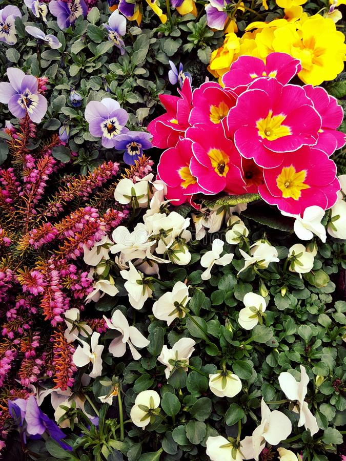 Colorful flowers. Close up of colorful flowers in garden royalty free stock photo
