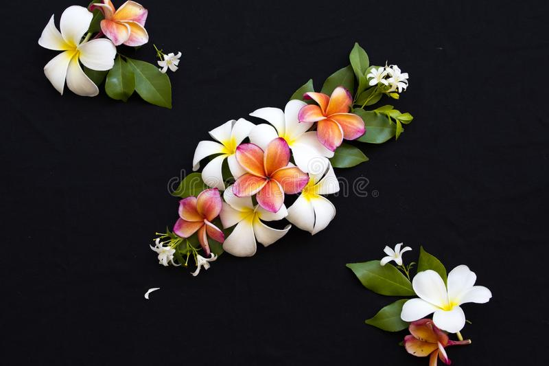 Colorful flowers frangipani locla flora of asia on black. Colorful flowers white ,orange ,pink frangipani local flora of asia arrangement flat lay postcard style stock images