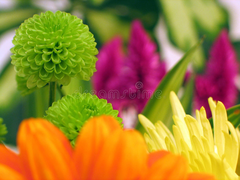 Colorful flowers, gerbera in forground and chrysanthemum. Colorful flowers including a chrysanthemum and gerbera. Shallow dof, macro royalty free stock photo