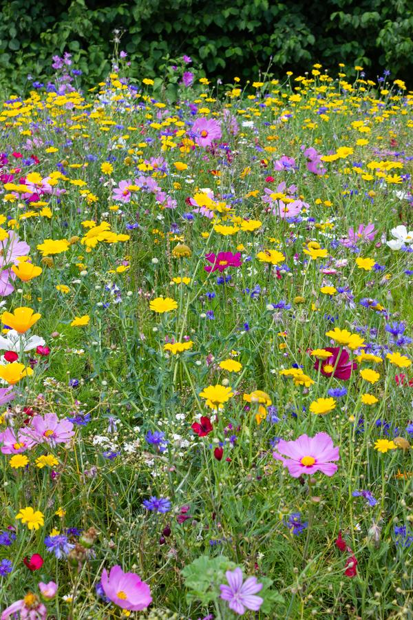 Colorful flowers in meadow at sunshine summer day with green bush behind. Colorful flowers in meadow at sunshine summer day in south germany countryside with royalty free stock image