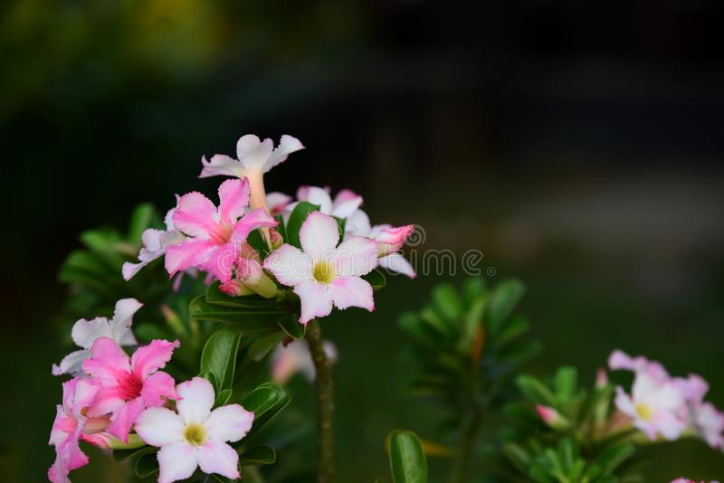 Colorful flowers in nature.color in the garden. Colorful flowers in nature.color in the garden next to the house. Beautiful flowers in the garden next to the royalty free stock photography