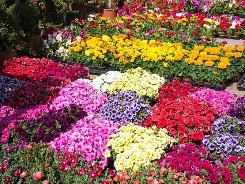 Colorful Flowers In Nursery Stock Photo Image 53827999