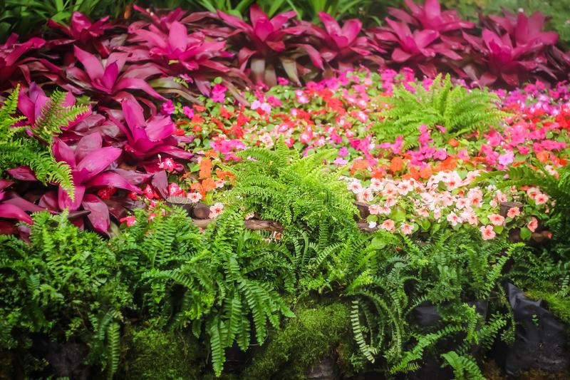 Colorful flowers ornamental red bromeliad , fern group and petunia flowers blooming with misty in garden , nnatural patterns stock images