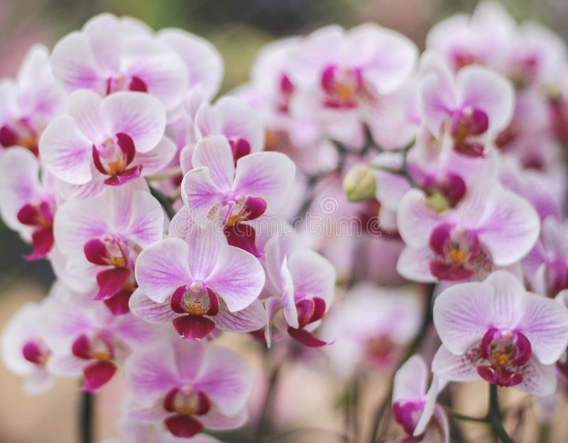 Colorful flowers pink or purple phalaenopsis orchids group blooming in garden on background , nature patterns ornamental royalty free stock photo
