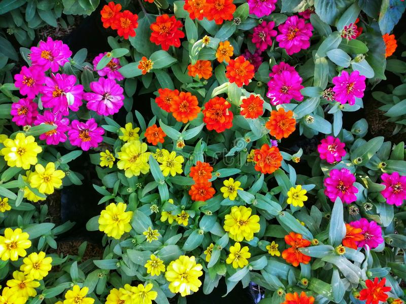 Colorful flowers Planted in a flower pot and put together in the garden. stock images