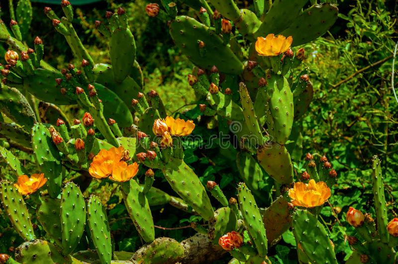 Colorful flowers on spiny cactus bushes royalty free stock photos