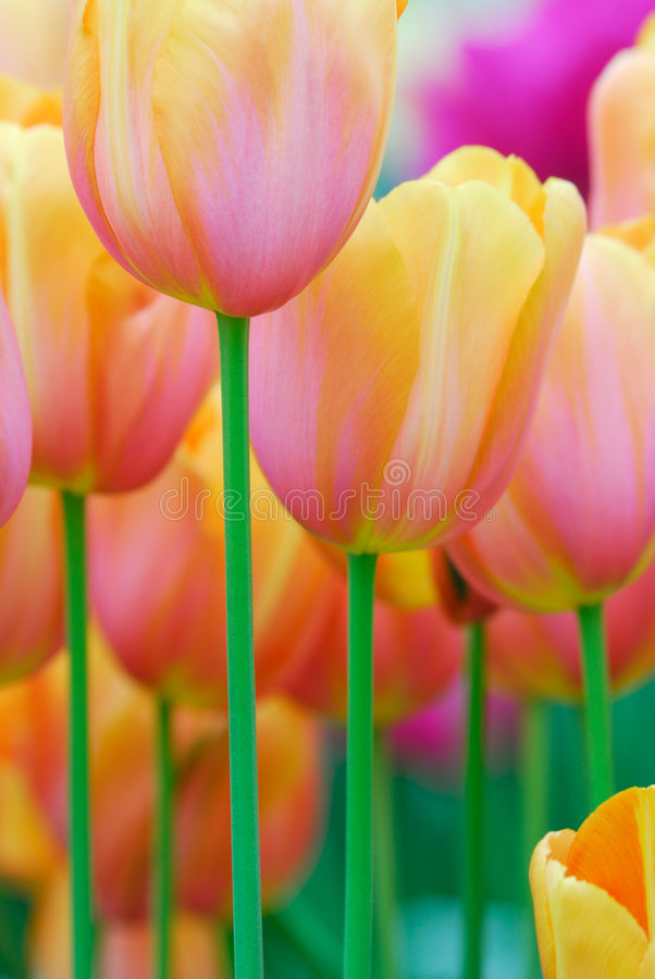 Colorful Flowers In Spring Royalty Free Stock Photo