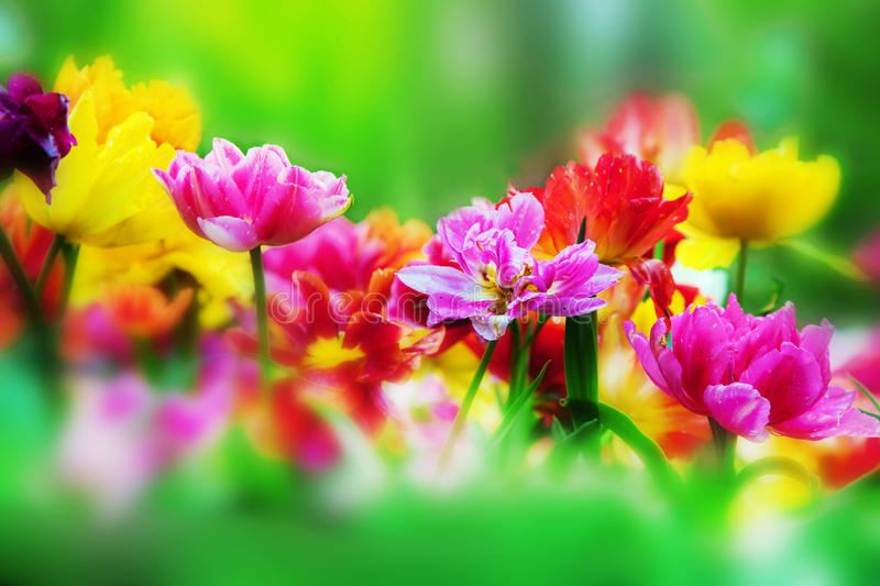 Colorful flowers in spring garden royalty free stock photo