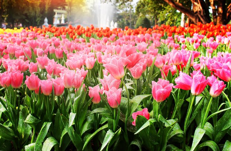 Colorful flowers sweet pink tulip with green stem , leaves and water drops blooming big group  in nature garden stock image
