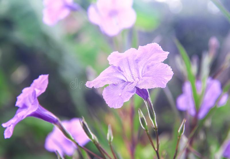 Colorful flowers sweet purple waterkanon or ruellia tuberosa blooming with water drops in the morning and reflection from sunrise stock photo