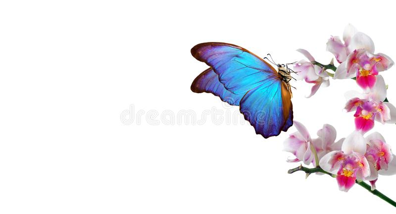 Colorful flying butterflies. tropical nature. bright blue tropical morpho butterflies on colorful orchid flowers isolated on white. Beautiful colorful royalty free stock images