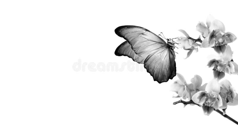 Colorful flying butterflies. tropical nature. bright blue tropical morpho butterflies on colorful orchid flowers isolated on white. Beautiful colorful stock photography