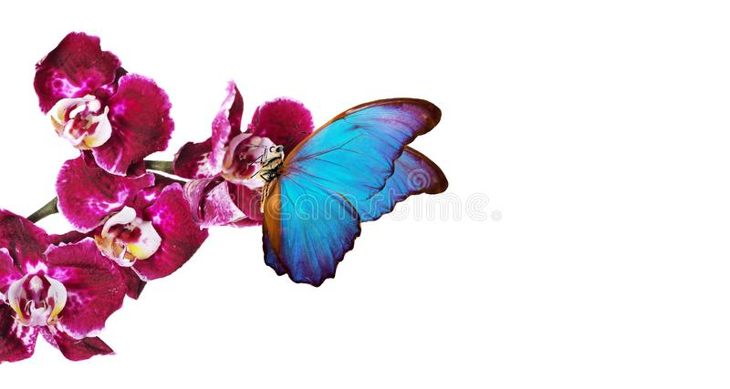 Colorful flying butterflies. tropical nature. bright blue tropical morpho butterflies on colorful orchid flowers isolated on white. Beautiful colorful royalty free stock image