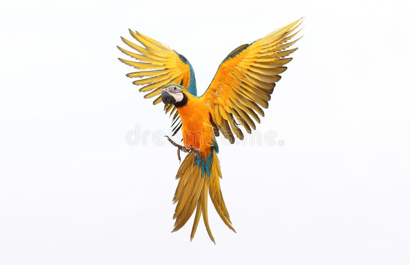 Colorful flying parrot isolated on white. Background royalty free stock image