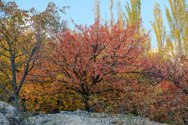Colorful foliage in autumn season against clear blue sky. royalty free stock photos
