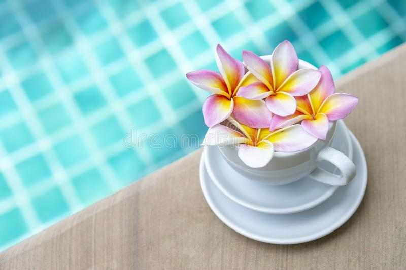 Colorful fresh Plumeria flow in white coffee cup over blurred blue swimming pool water background. Summer tropical concept royalty free stock photos