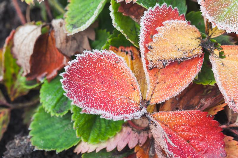 Colorful frozen strawberry leaves. Covered with hoarfrost, macro photo with selective focus stock photo