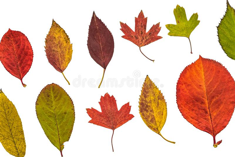 Colorful garden autumn leaves on a white background stock photos