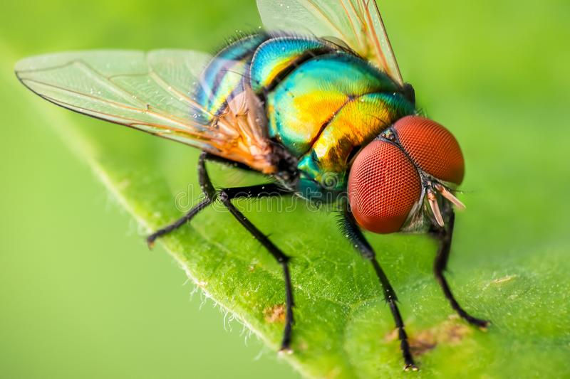 Colorful Garden Fly. A macro of a colorful Garden Fly in spring royalty free stock photo