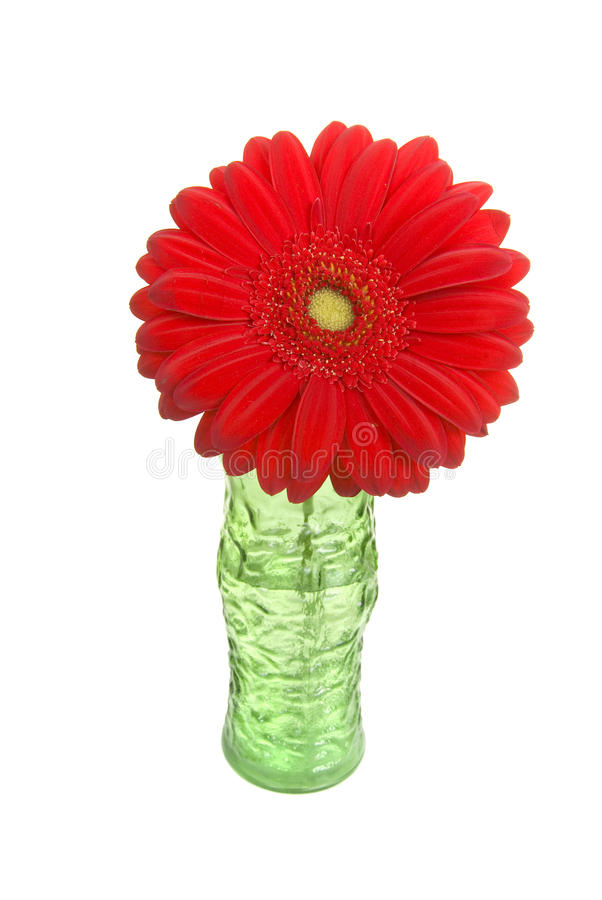 Colorful Gerber Daisy In Vase Royalty Free Stock Images ...