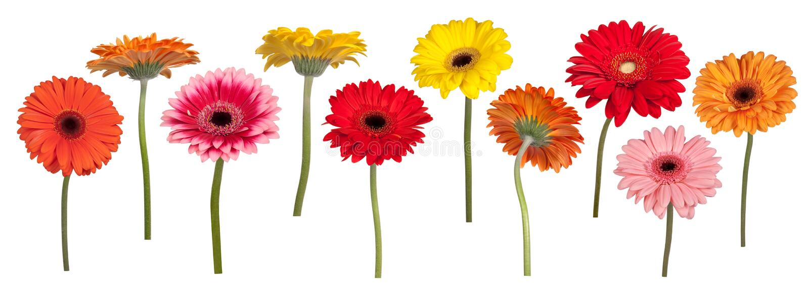 Colorful gerber flowers stock photo