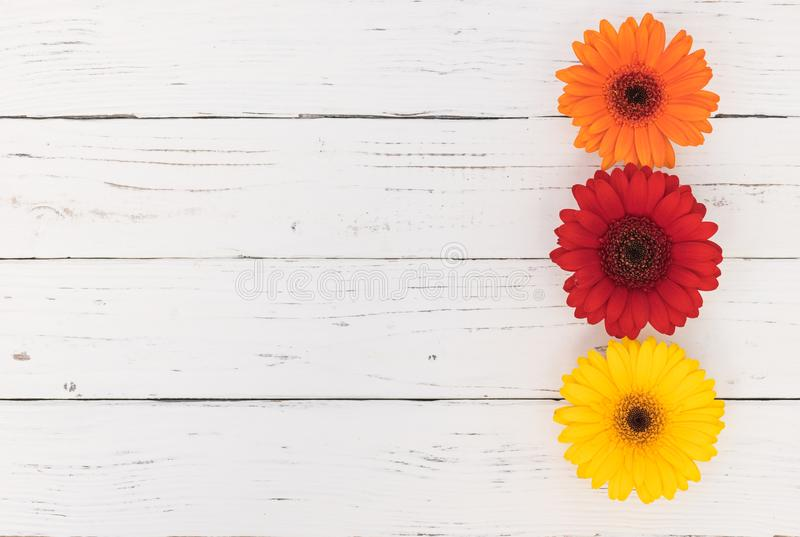 Colorful gerbera daisy blossoms on white background for a flowery greeting card stock image