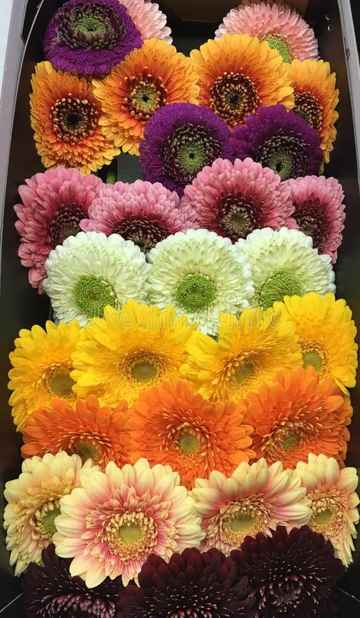 Colorful Gerbera: excellent orientation of flowers stock photos