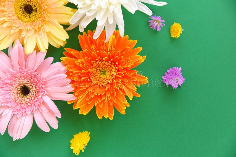 Colorful gerbera spring flowers summer beautiful blooming on green background - Flat lay Top view. Colorful gerbera spring flowers summer beautiful blooming on royalty free stock photography